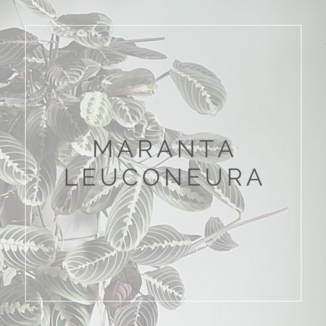 01. MARANTA - PLANT FOCUS