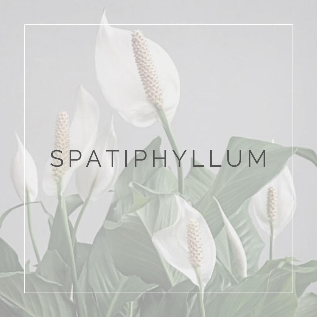 03. SPATI - PLANT FOCUS