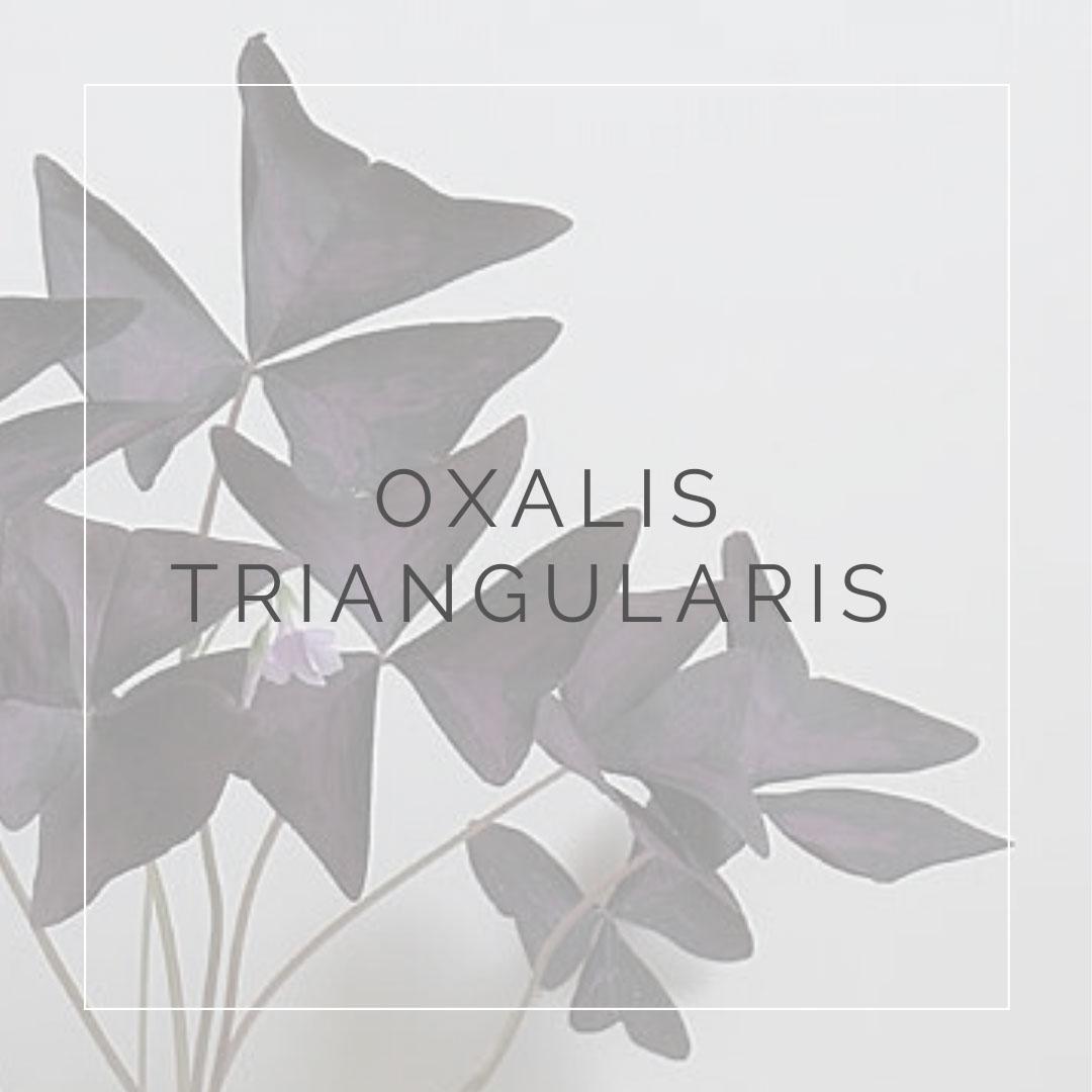 04. OXALIS - PLANT FOCUS