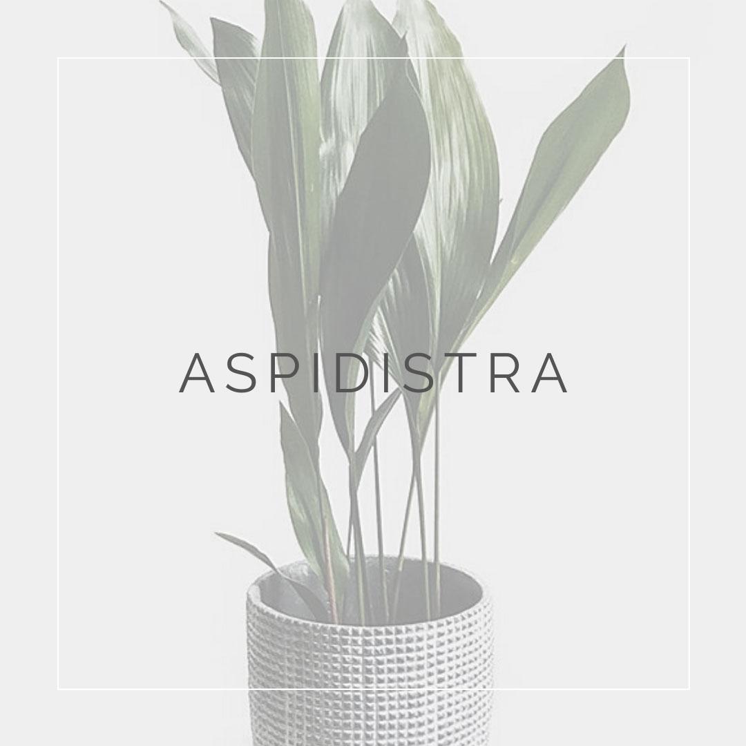 06. ASPIDISTRA - PLANT FOCUS