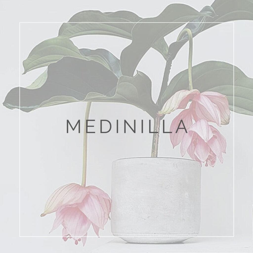 08. MEDINILLA - PLANT FOCUS