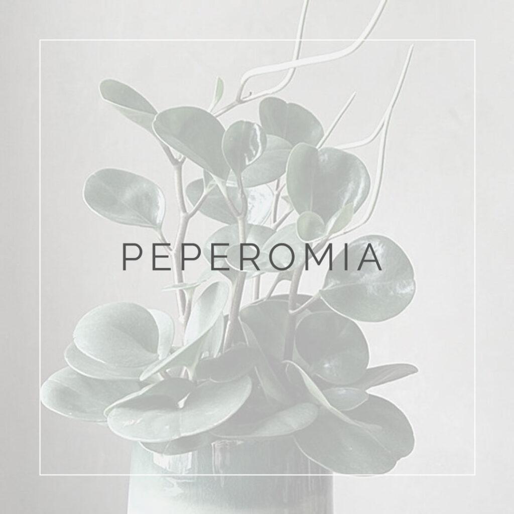 09. PEPEROMIA - PLANT FOCUS