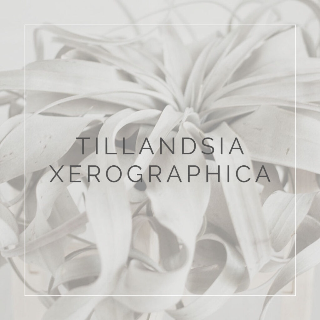 09. TILLANDSIA XERO - PLANT FOCUS