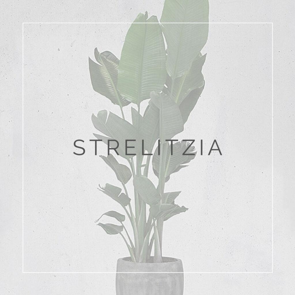 10. STRELITZIA - PLANT FOCUS