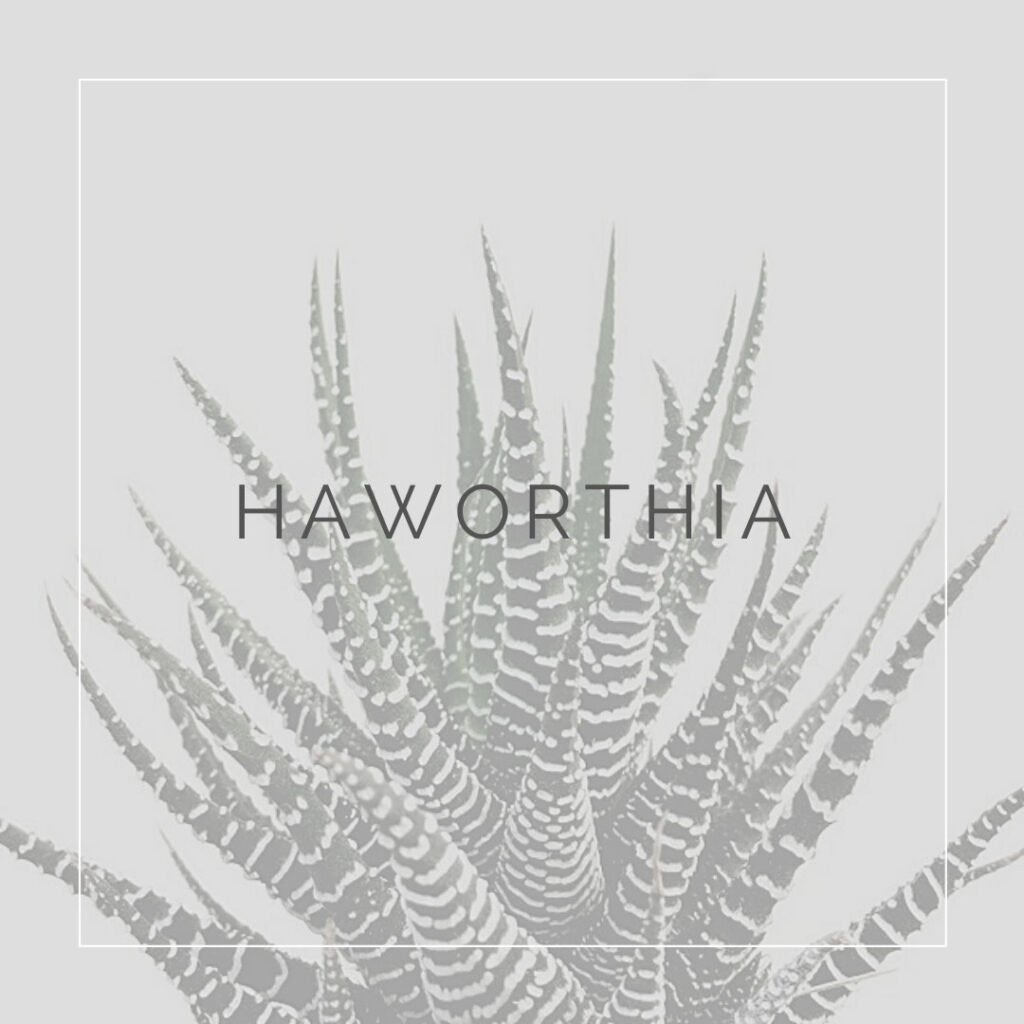 11. HAWORTHIA - PLANT FOCUS