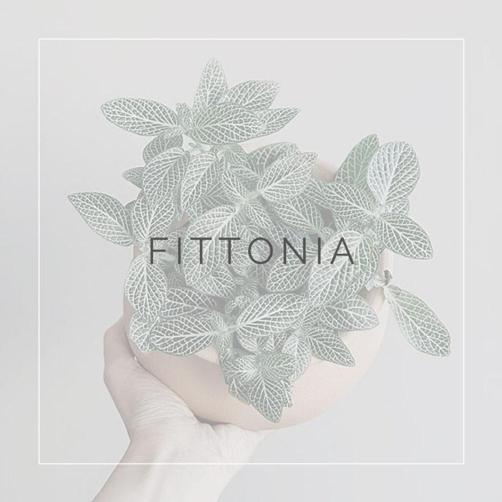 12. FITTONIA - PLANT FOCUS