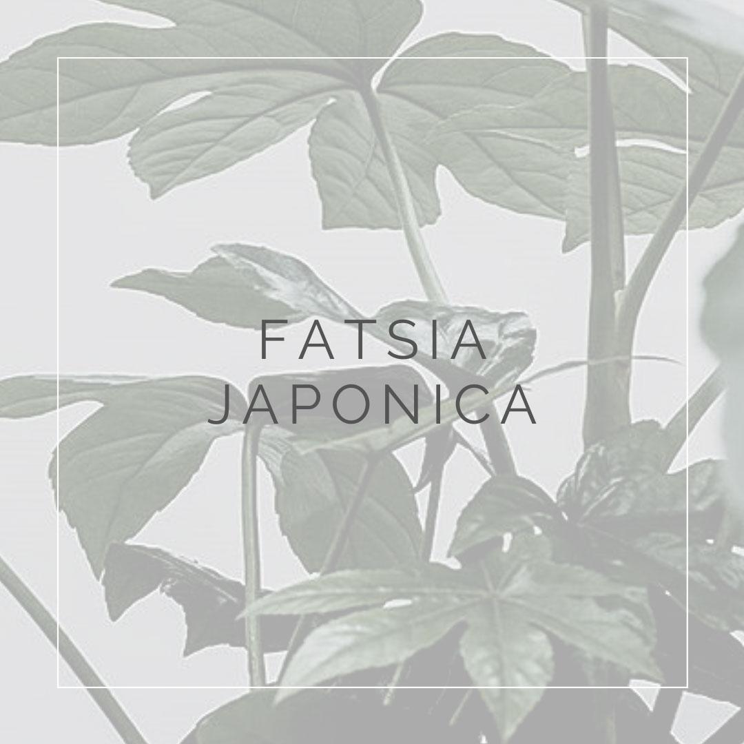 13. FATSIA JAPONICA - PLANT FOCUS