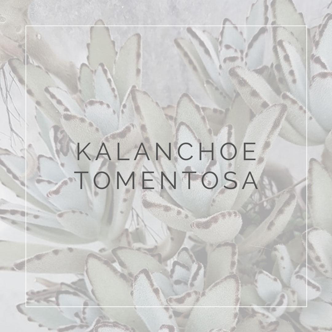 14. KALANCHOE TOMENTOSA - PLANT FOCUS