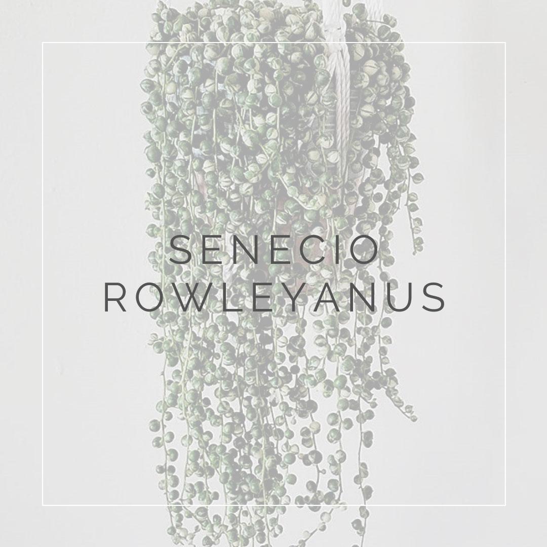 15. SENECIO ROWLEYANUS - PLANT FOCUS