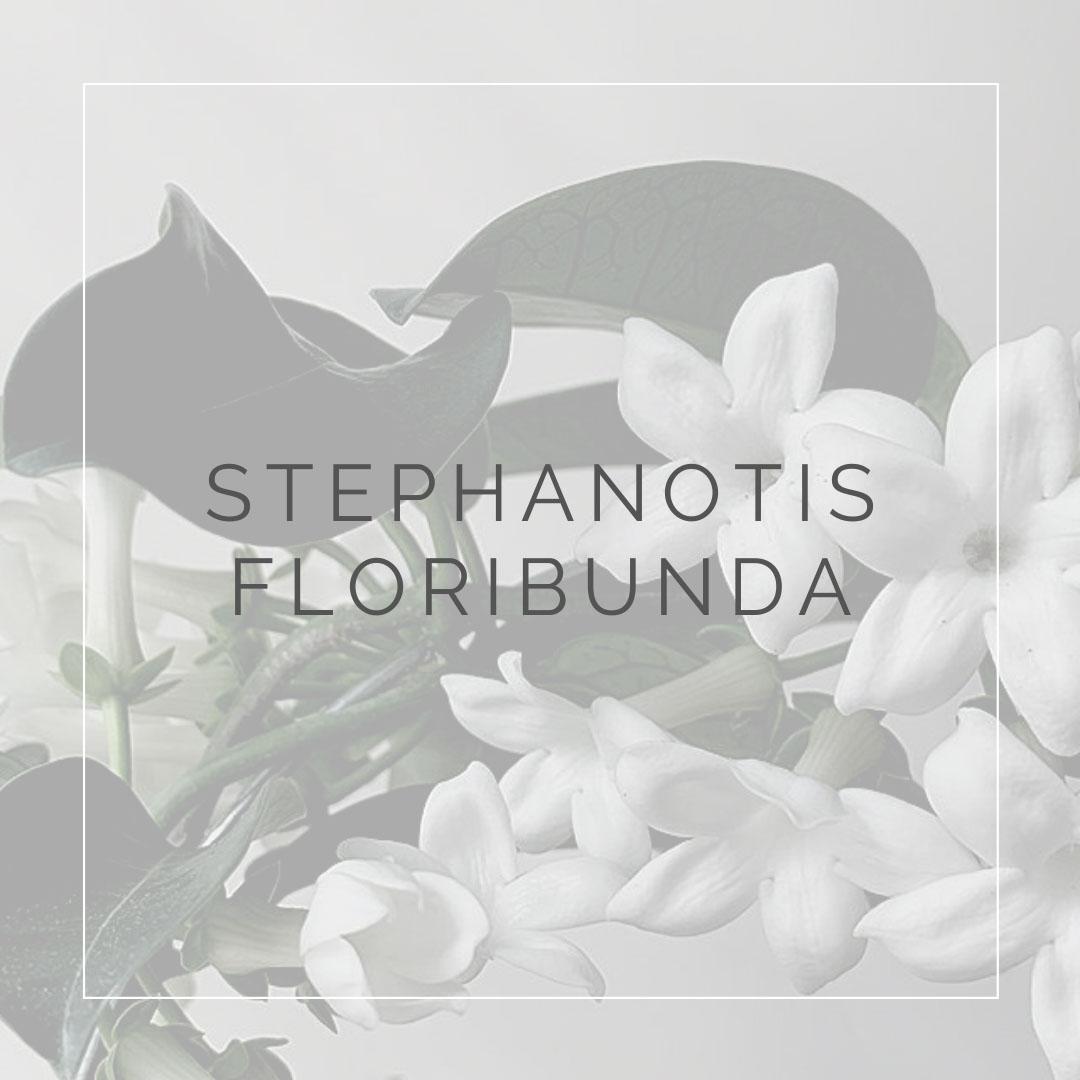 16. STEPHANOTIS FLORIBUNDA - PLANT FOCUS