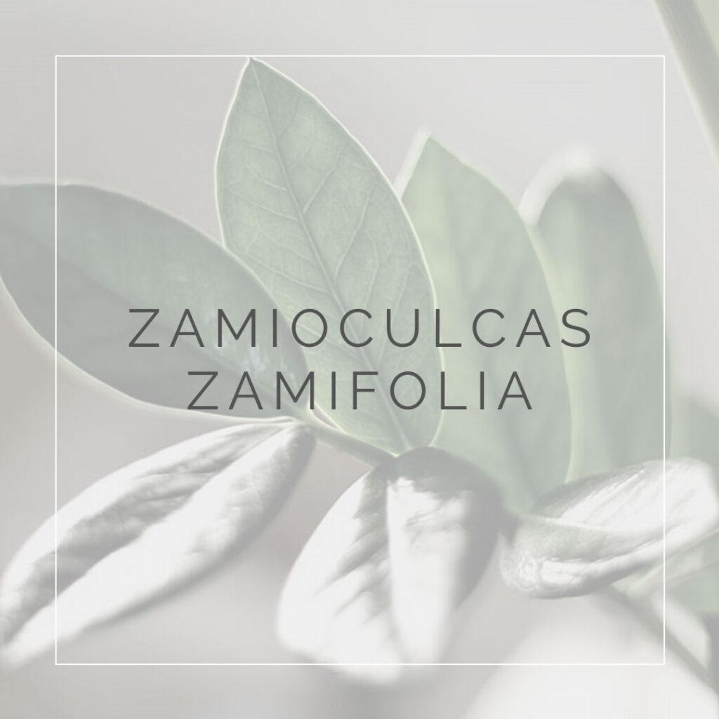 17. ZAMIOCULCAS ZAMIFOLIA - PLANT FOCUS