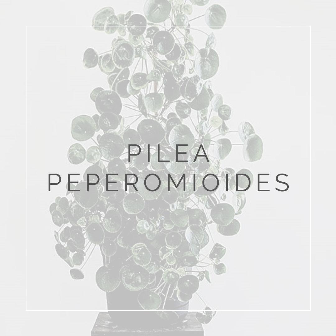 18. PILEA PEPEROMIOIDES - PLANT FOCUS