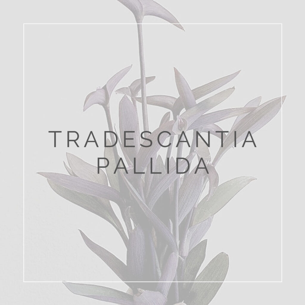 19. TRADESCANTIA PALLIDA - PLANT FOCUS