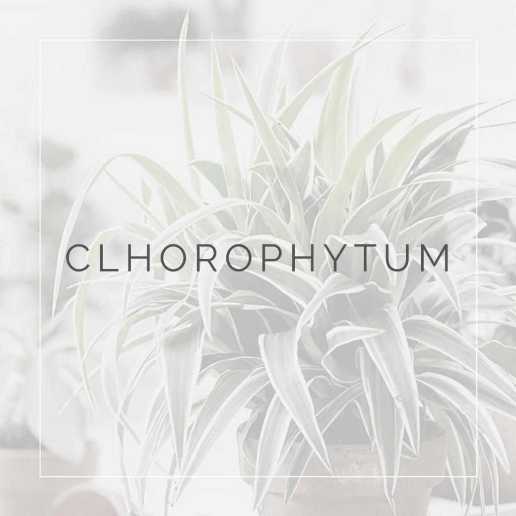 30. CLHOROPHYTUM - PLANT FOCUS