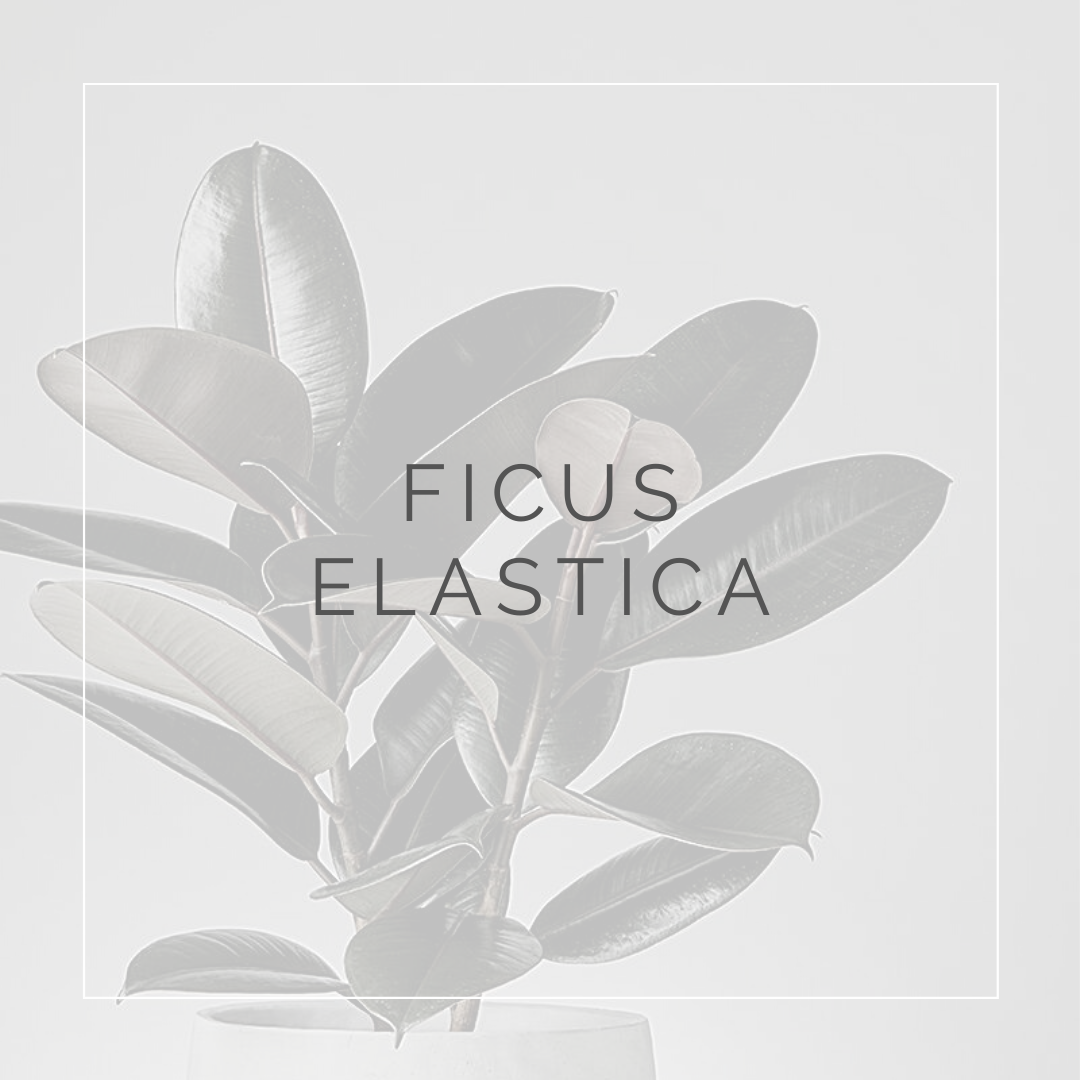 26. FICUS ELASTICA - PLANT FOCUS