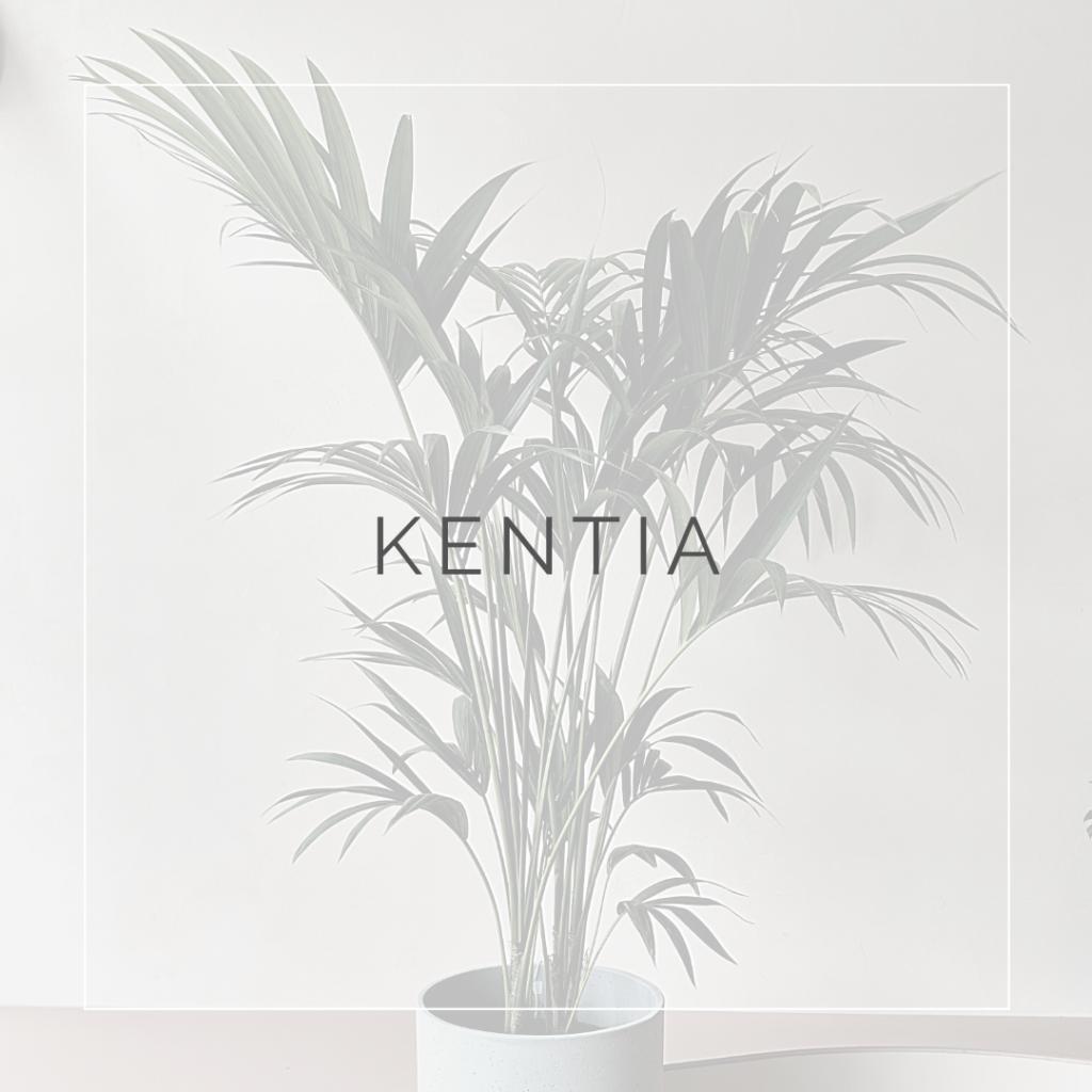 28. KENTIA - PLANT FOCUS