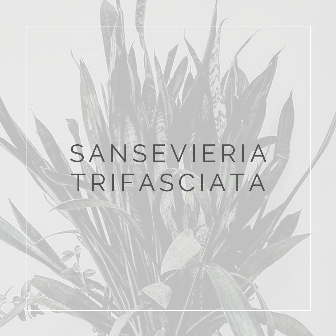 25. SANSEVIERIA TRIFASCIATA - PLANT FOCUS