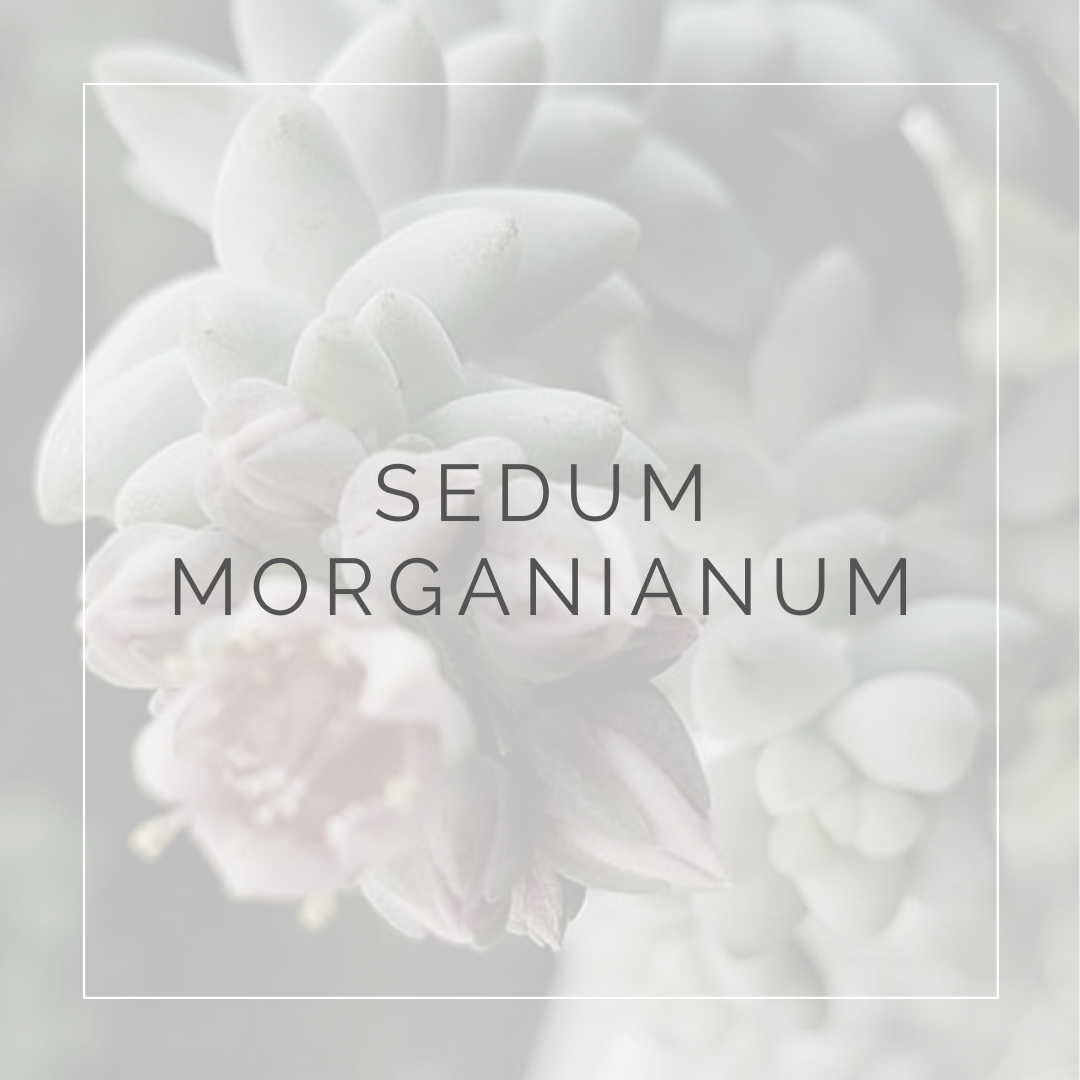 SEDUM MORGANIANUM_POST_PLANT FOCUS