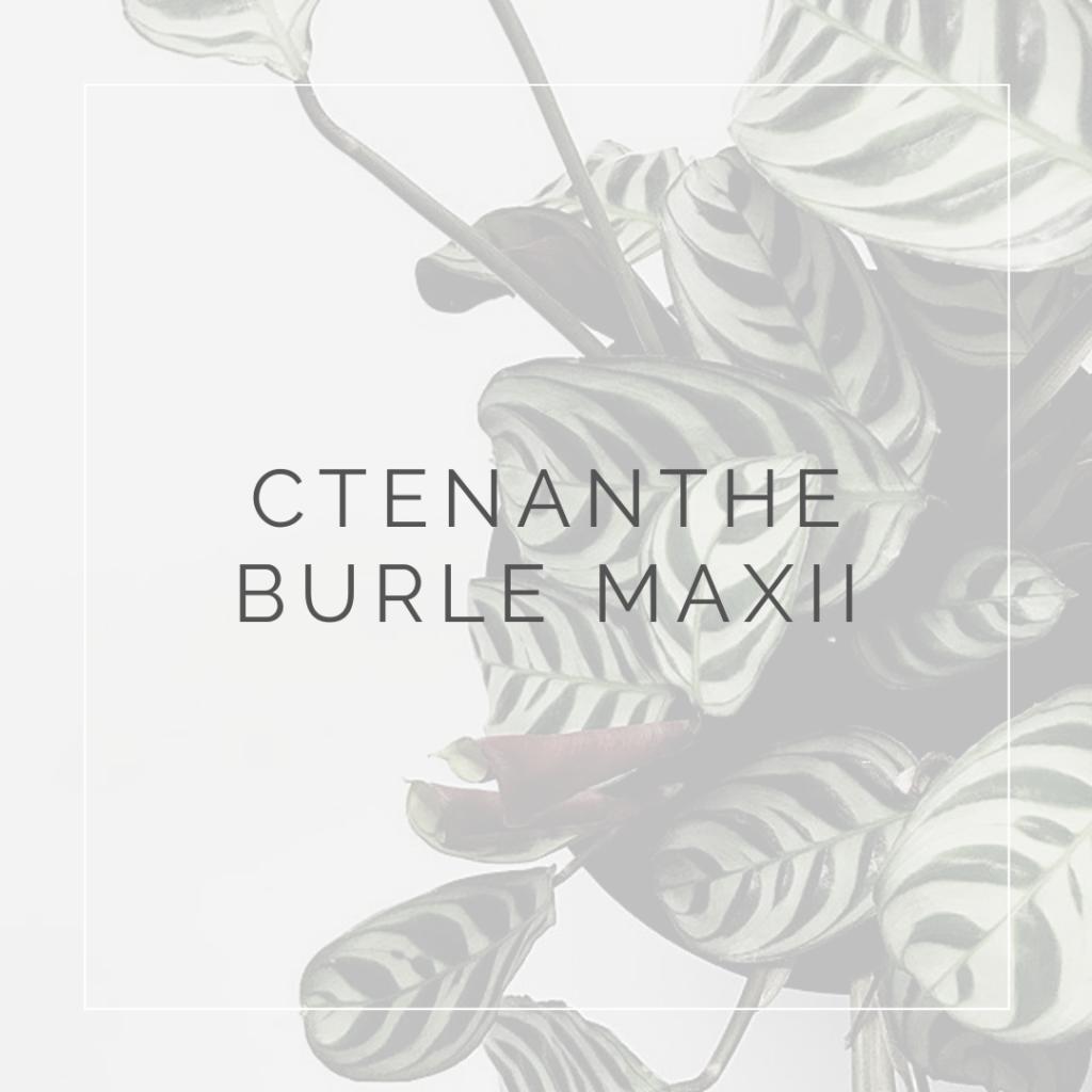 21. CTENANTHE BURLE MAXII - PLANT FOCUS