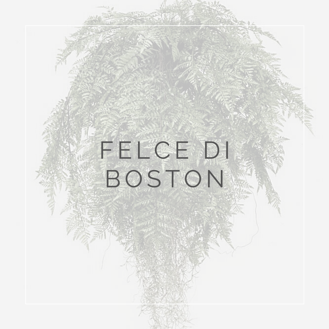 Felce di Boston - I Giardini di Ellis