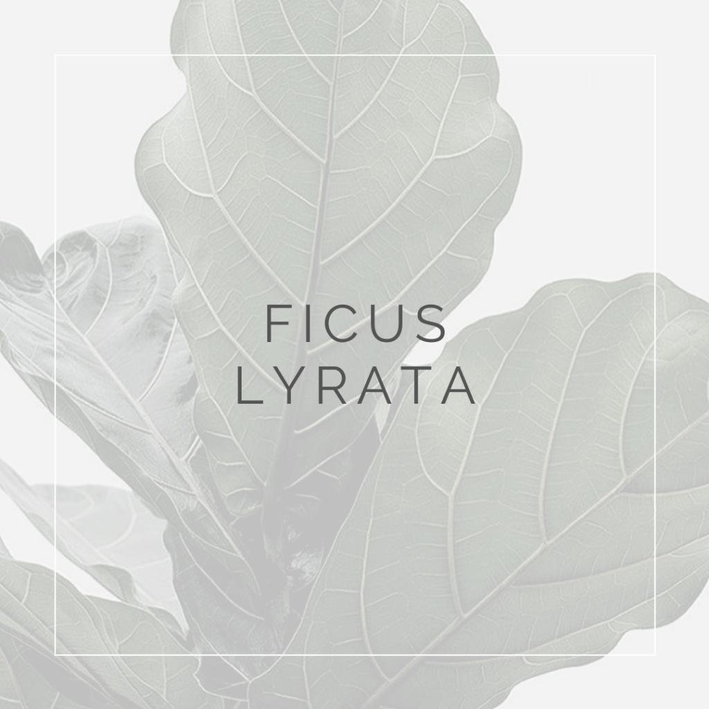 22. FICUS LYRATA - PLANT FOCUS