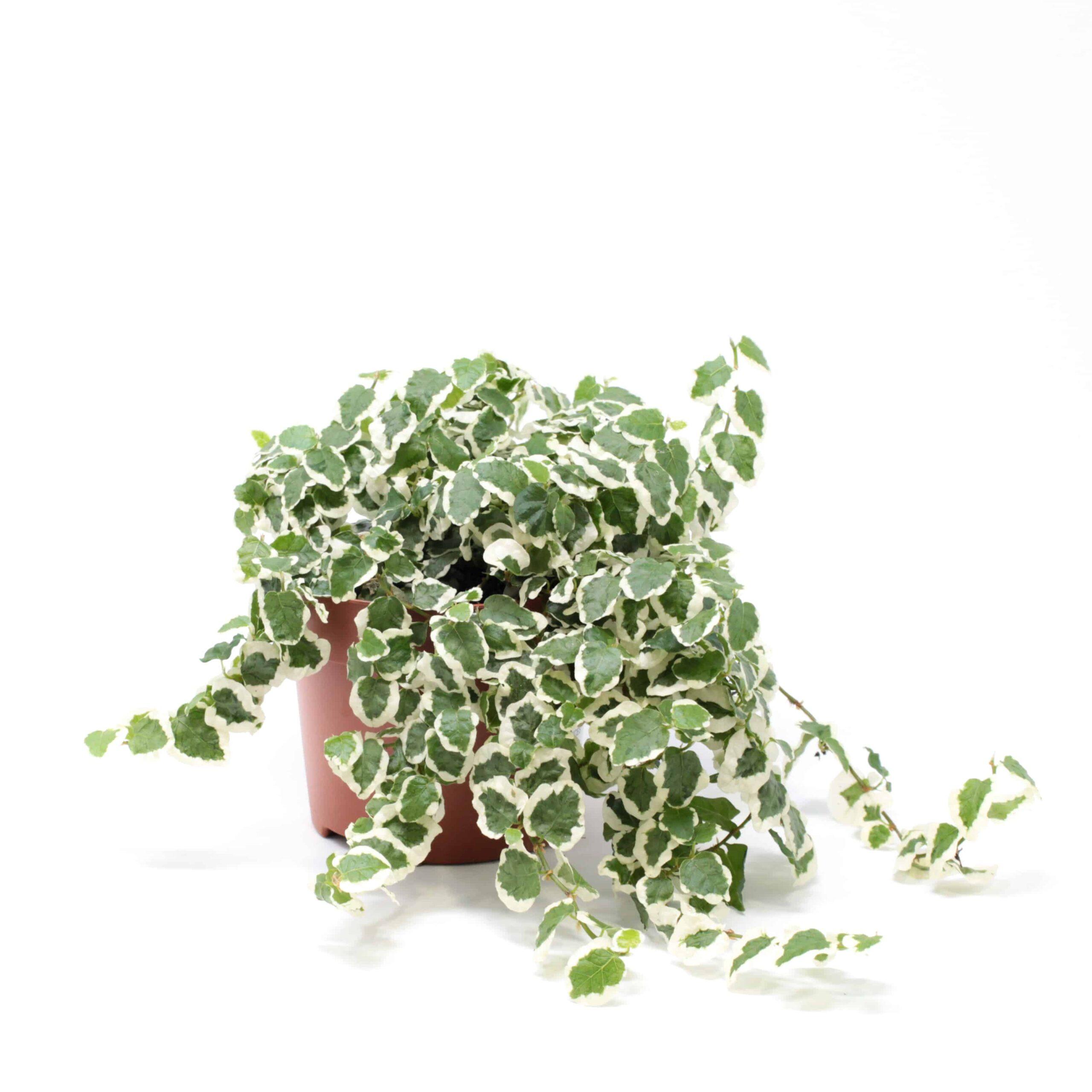 Ficus pumila variegato