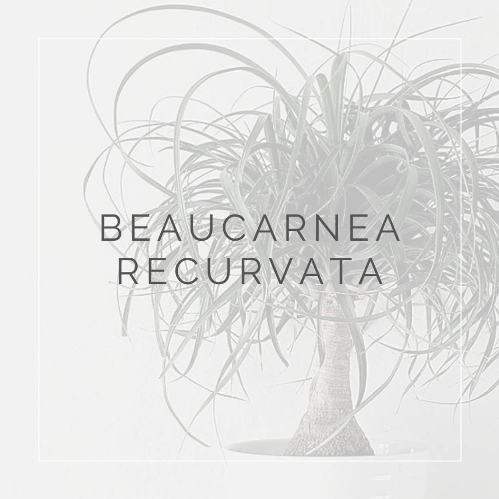 27. BEAUCARNEA RECURVATA - PLANT FOCUS