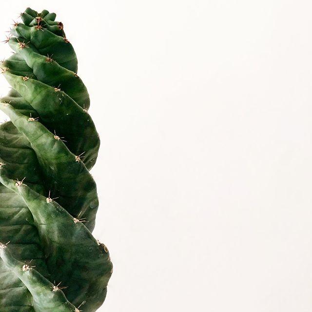 Cereus forbensii spiralis - Tornado Cactus