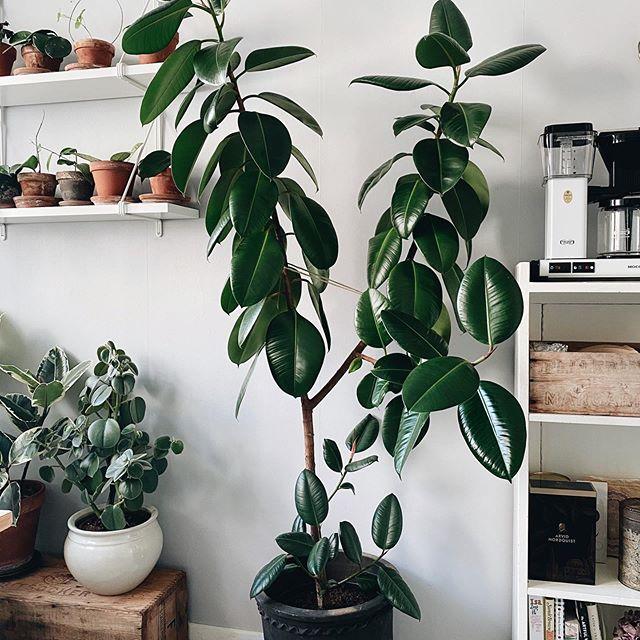 Ficus elastica - I Giardini di Ellis