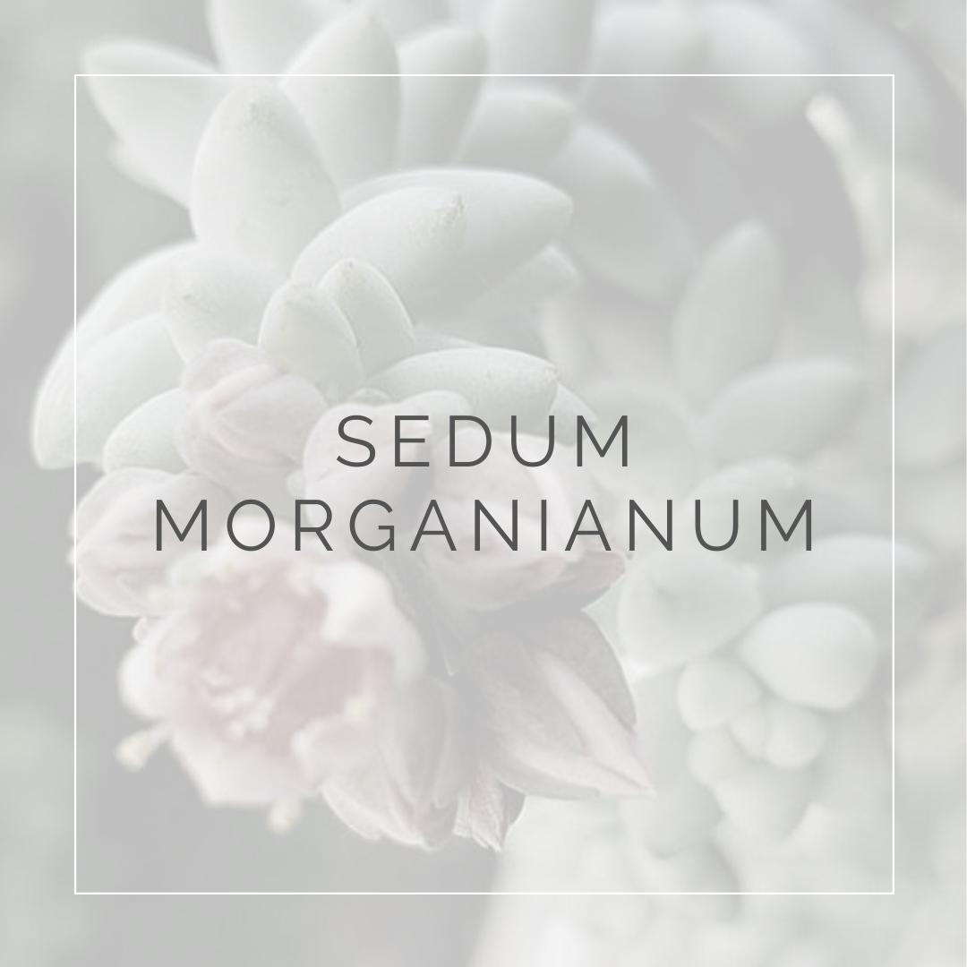 SEDUM MORGANIANUM_POST_PLANT FOCUS