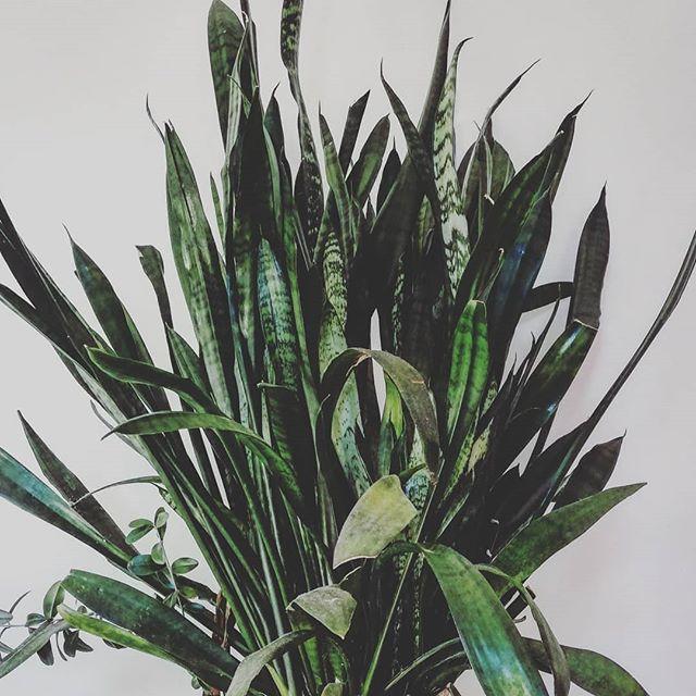 Sansevieria trifasciata - I Giardini di Ellis