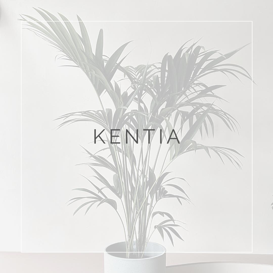 Kentia_I Giardini di Ellis
