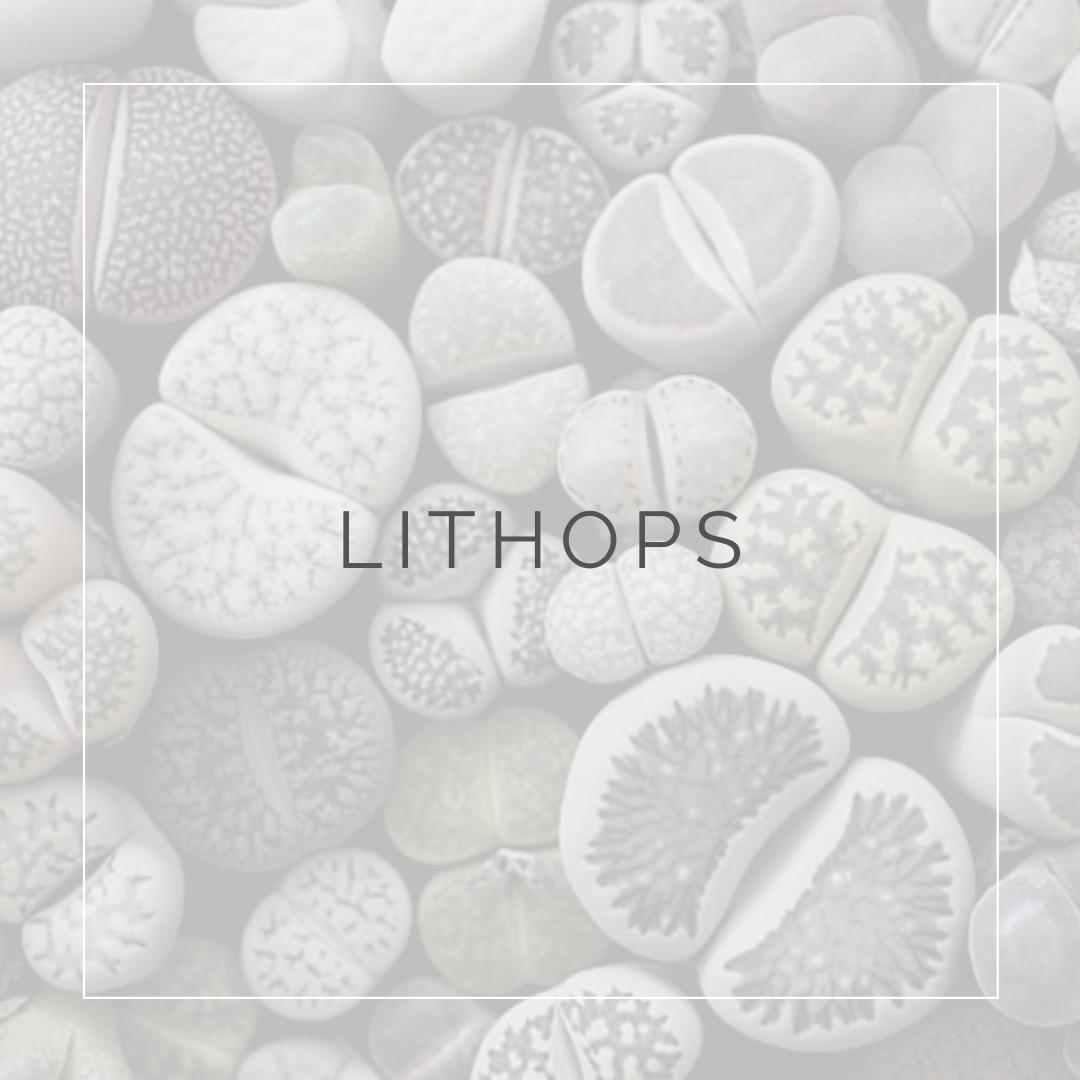 29. LITHOPS - PLANT FOCUS