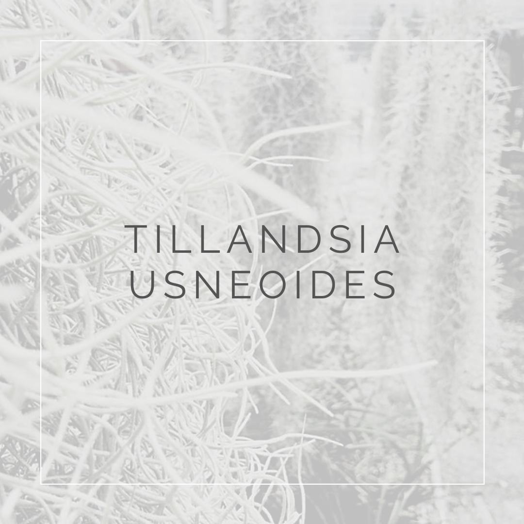 TILLANDSIA USNEOIDES_I Giardini di Ellis