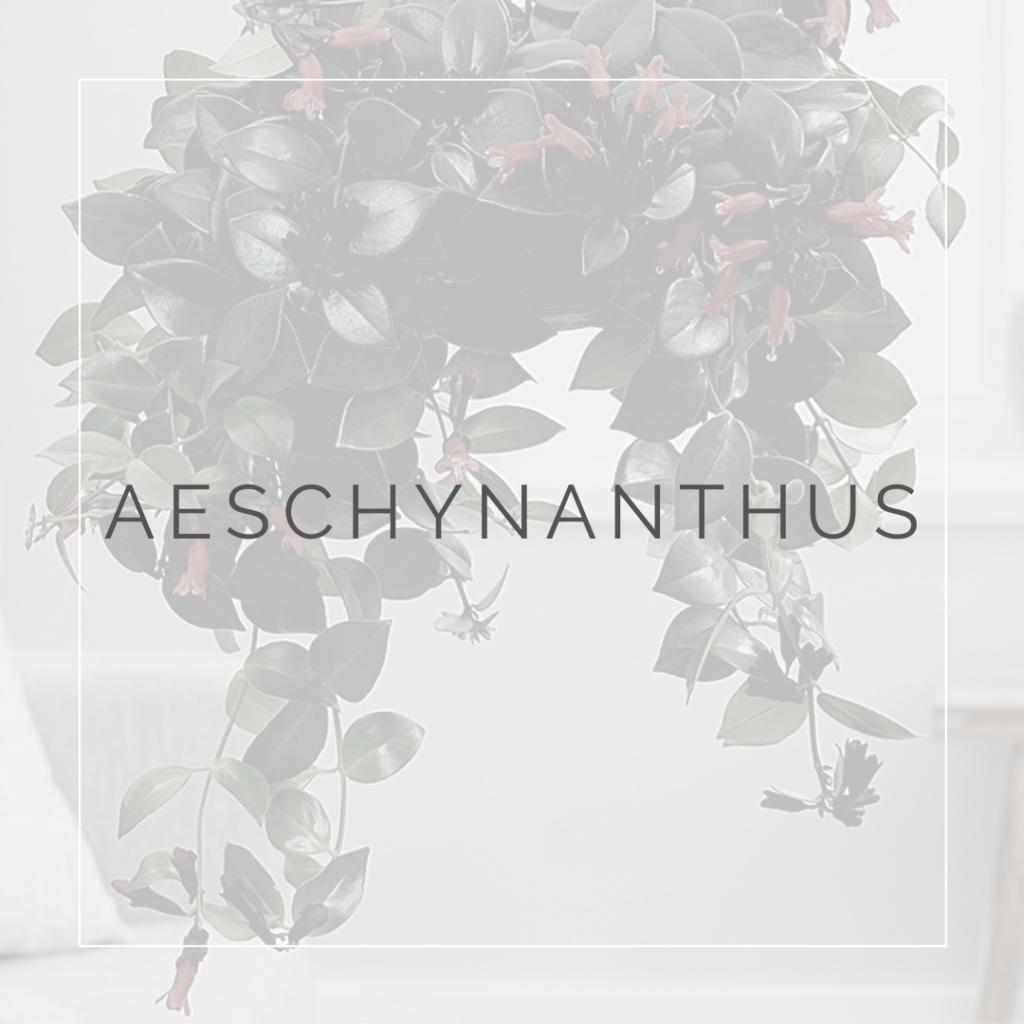 AESCHYNANTHUS_I Giardini di Ellis