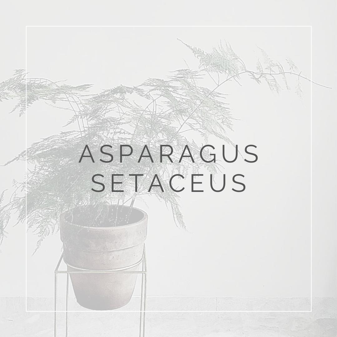 ASPARAGUS SETACEUS_I GIARDINI DI ELLIS