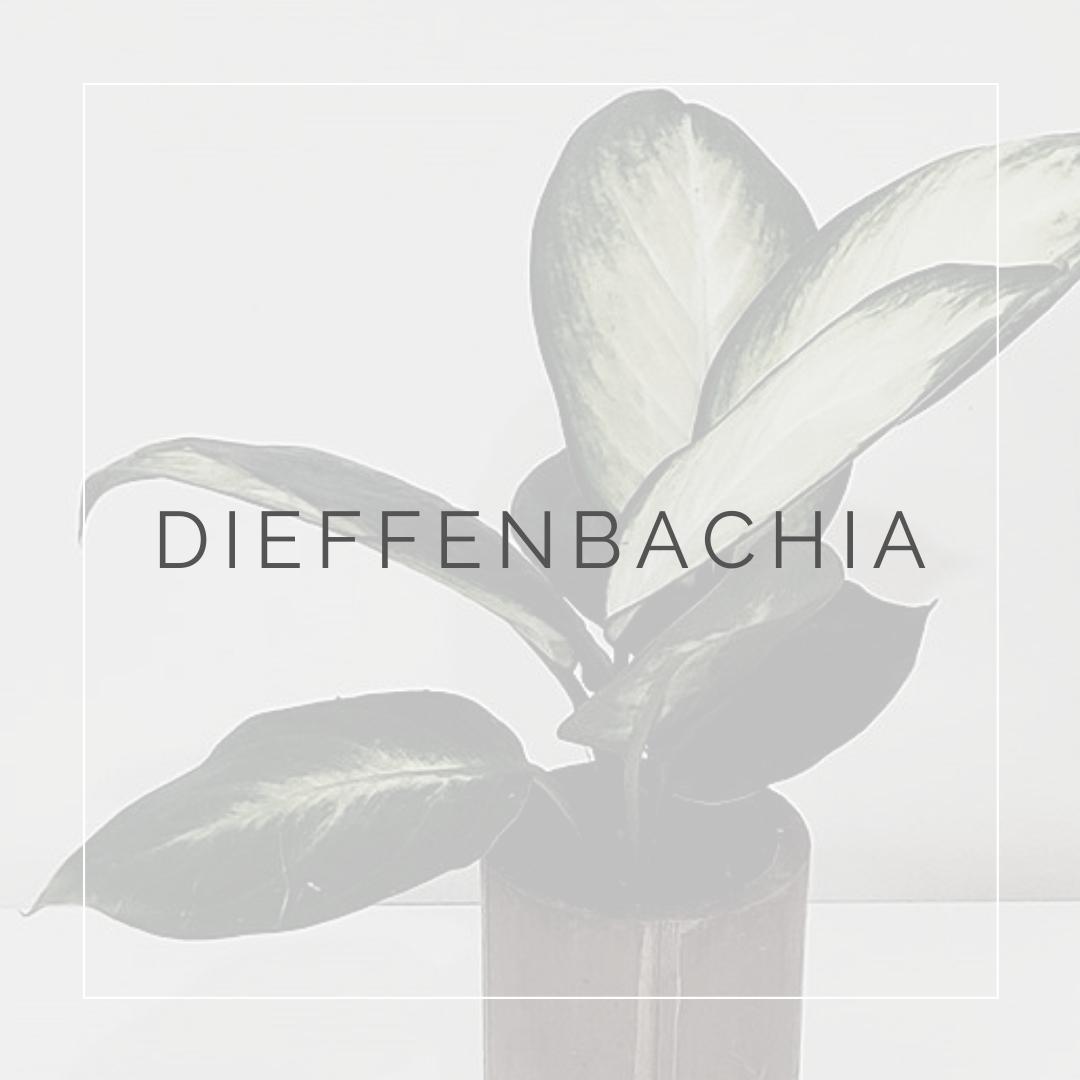 Dieffenbachia_ I Giardini di Ellis