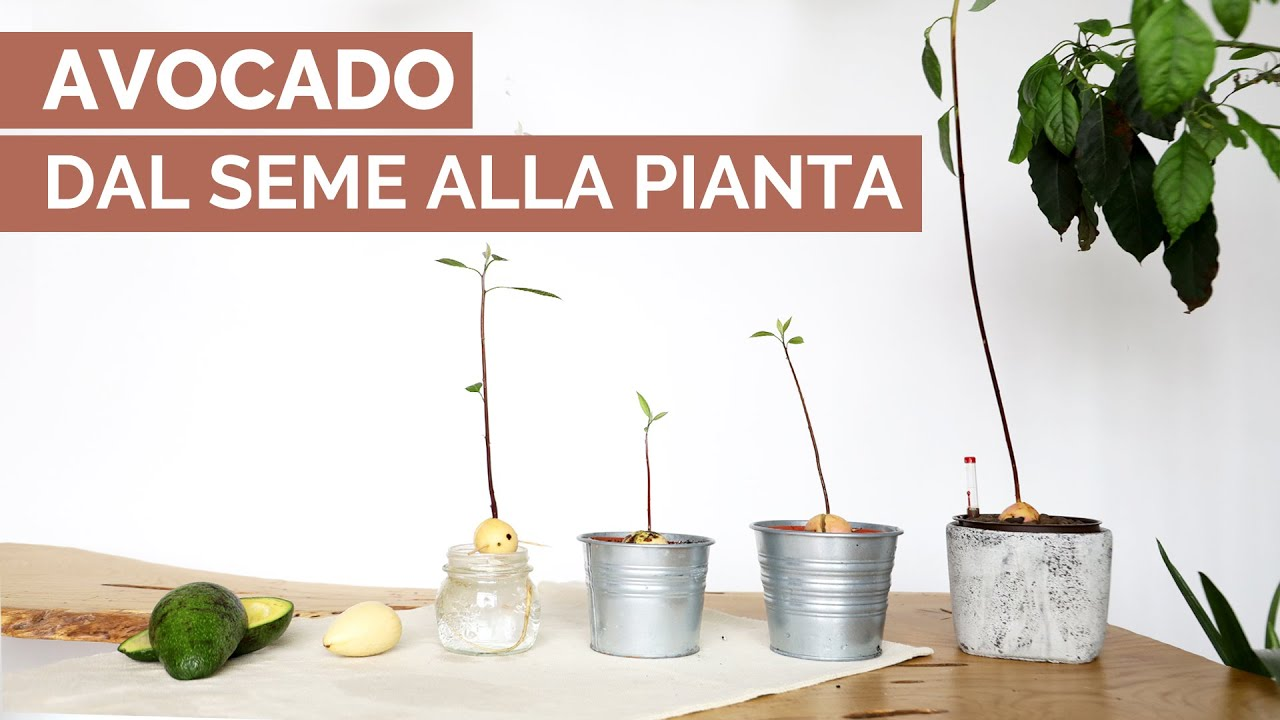 come coltivare un avocado