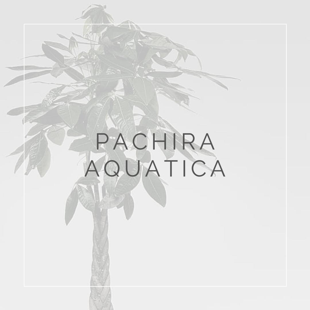 Pachira Aquatica_ I Giardini di Ellis