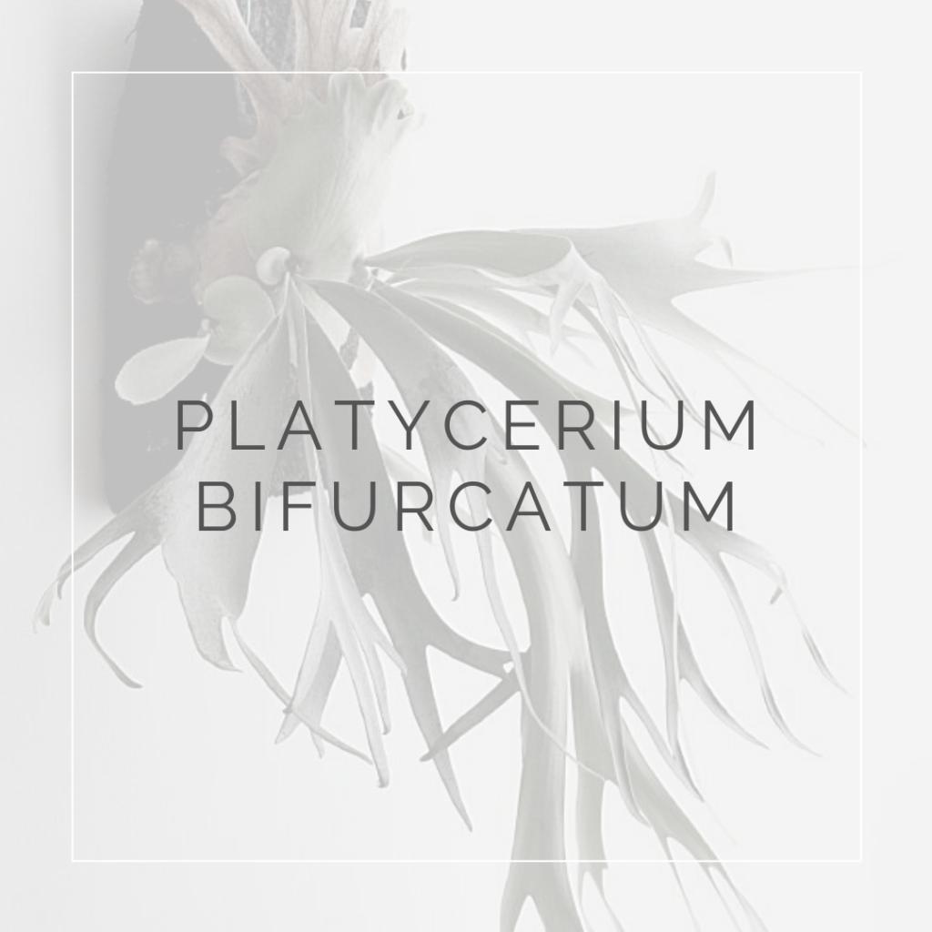 platycerium bicurcatum_i Giardini di ellis