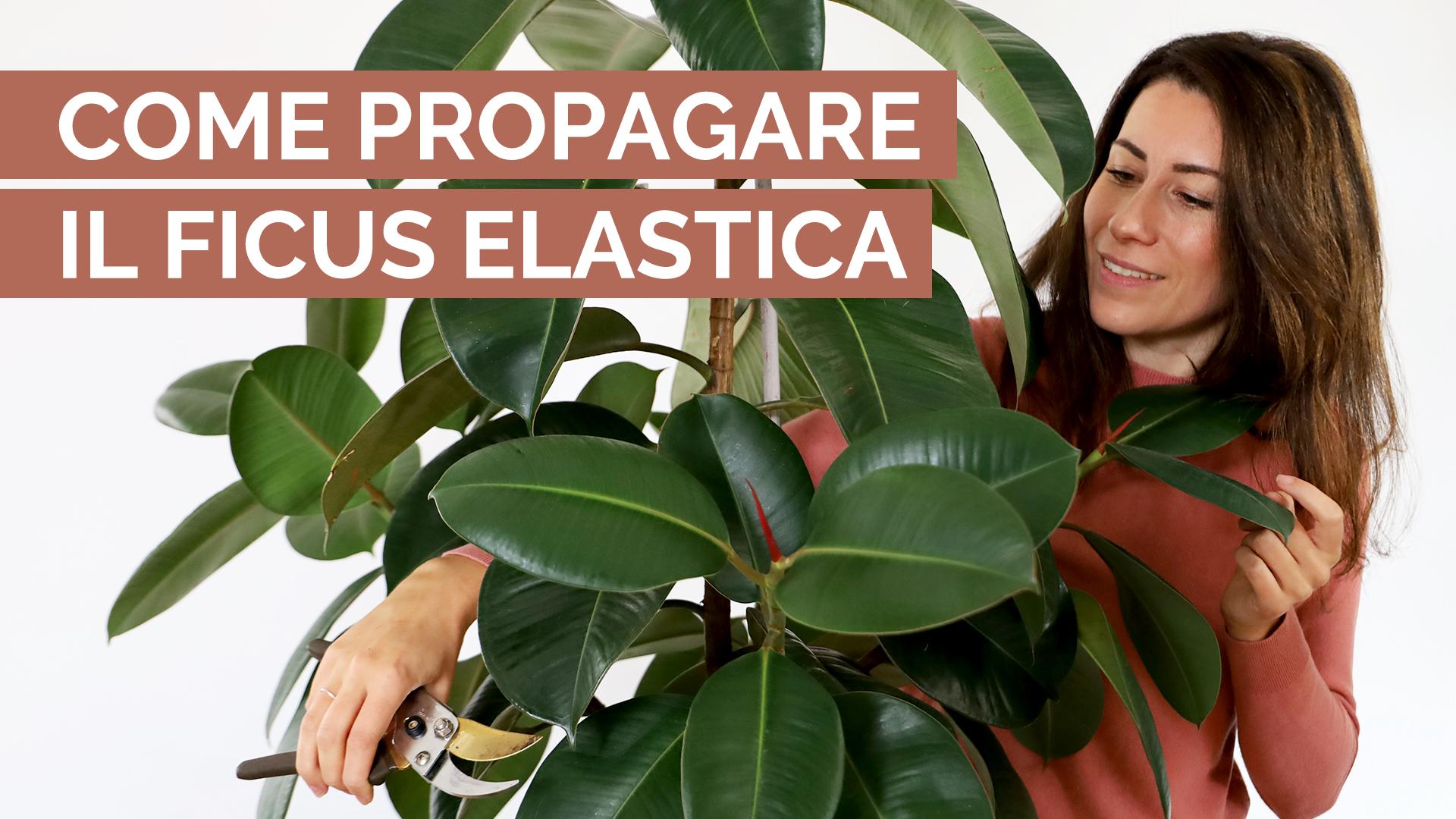 Come propagare il Ficus elastica