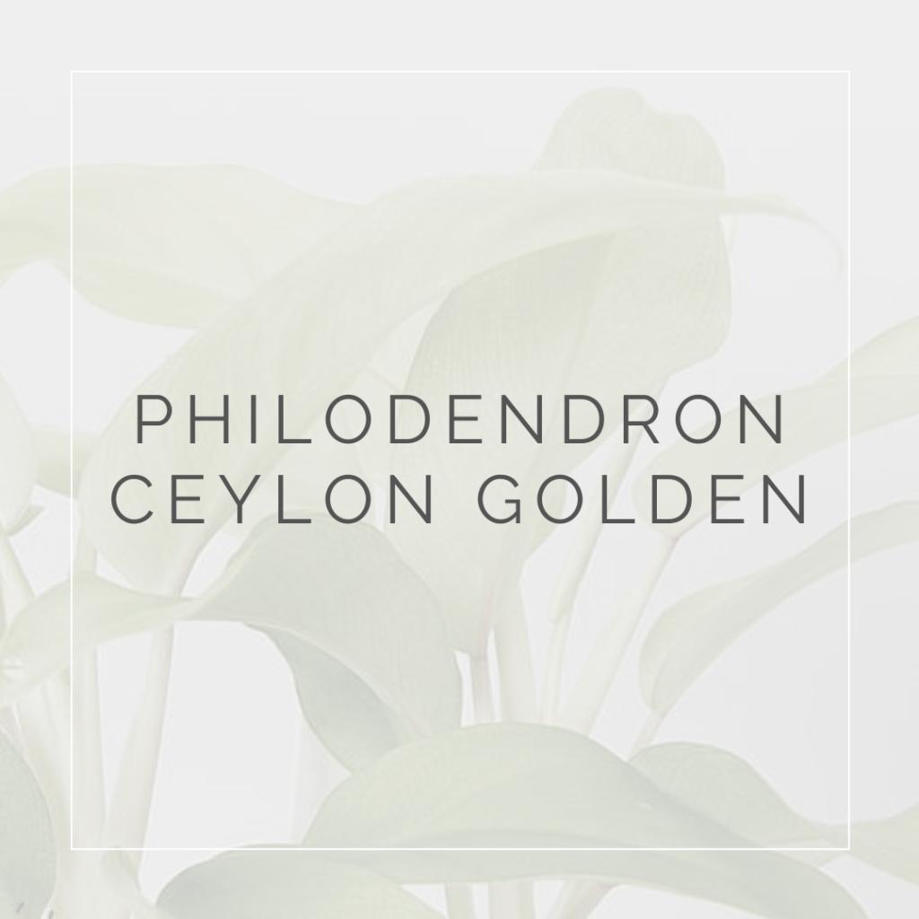 PHILODENDRON NEON_I Giardini di Ellis