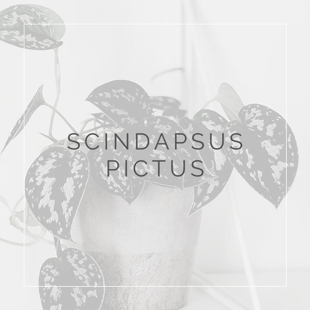 Scindapsus pictus_I Giardini di Ellis