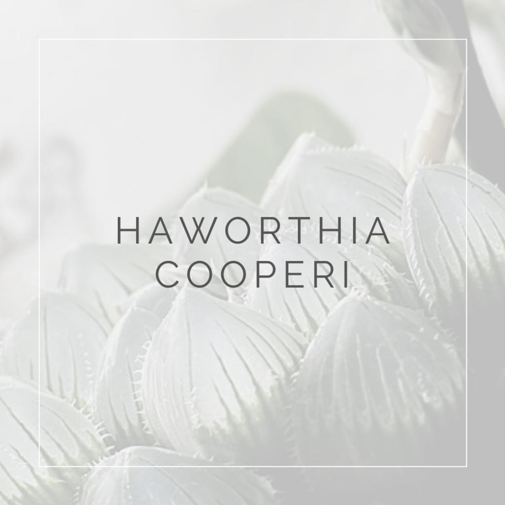 HAWORTHIA COOPERI_I Giardini di ellis