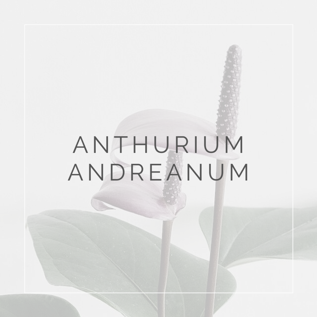 ANTHURIUM ANDREANUM_I Giardini di Ellis