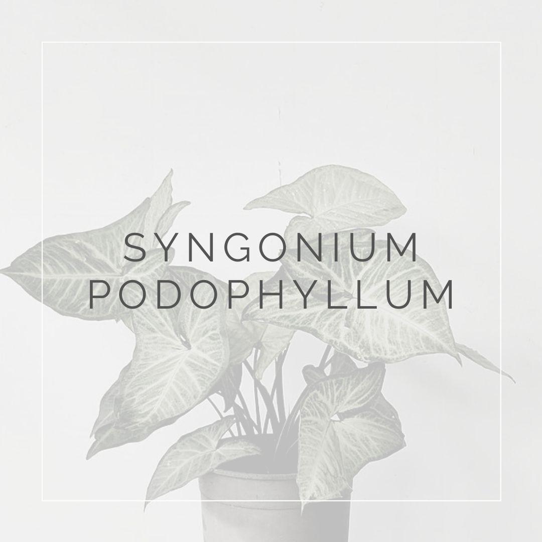 SYNGONIUM PODOPHILLUM_I Giardini di Ellis