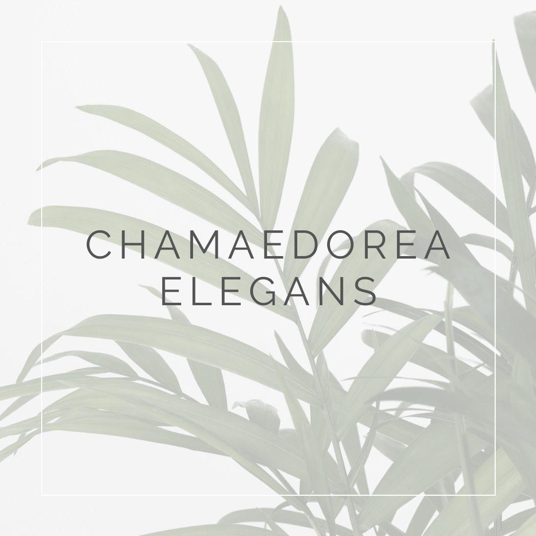 CHAMADOREA ELEGANS