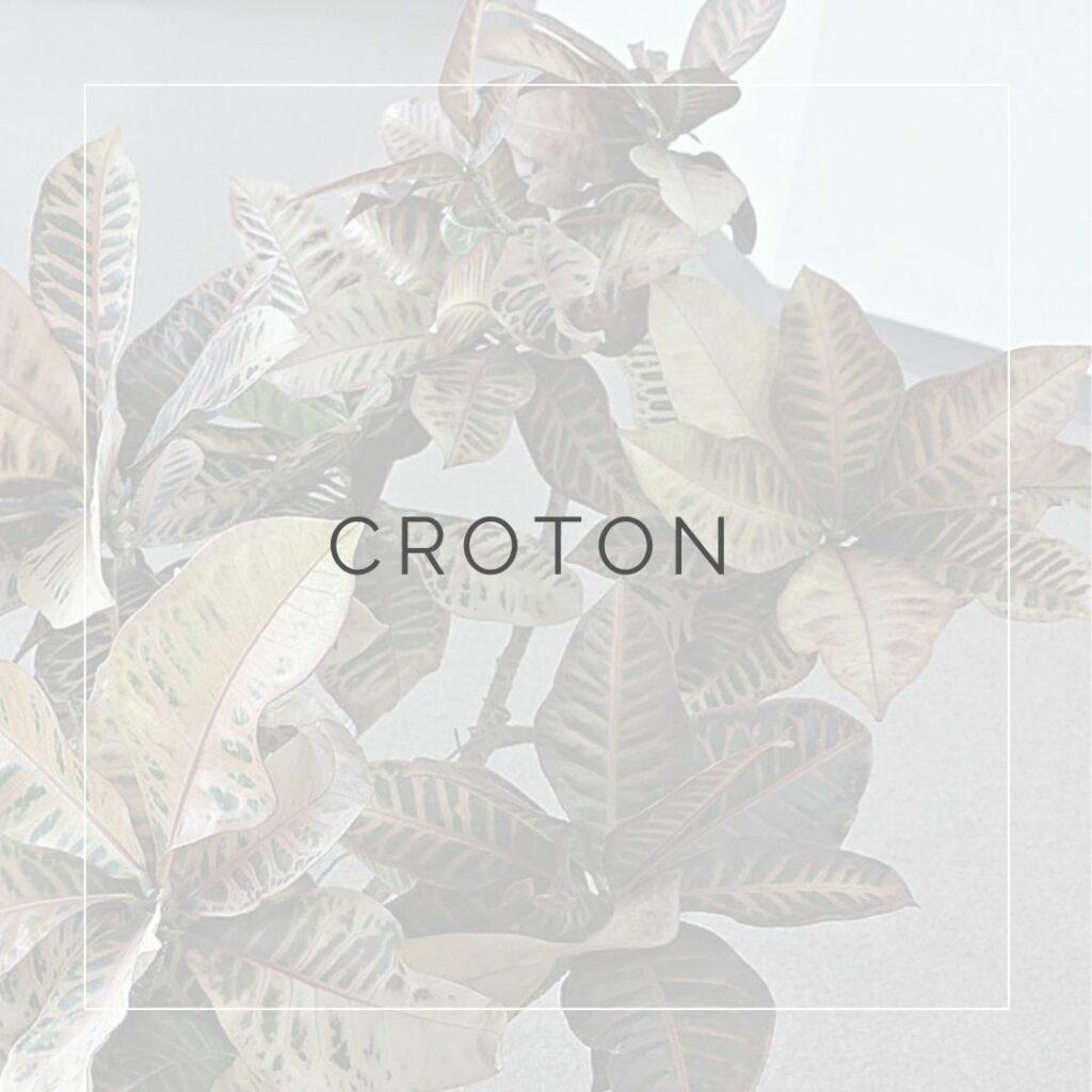 CROTON_I Giardini di Ellis