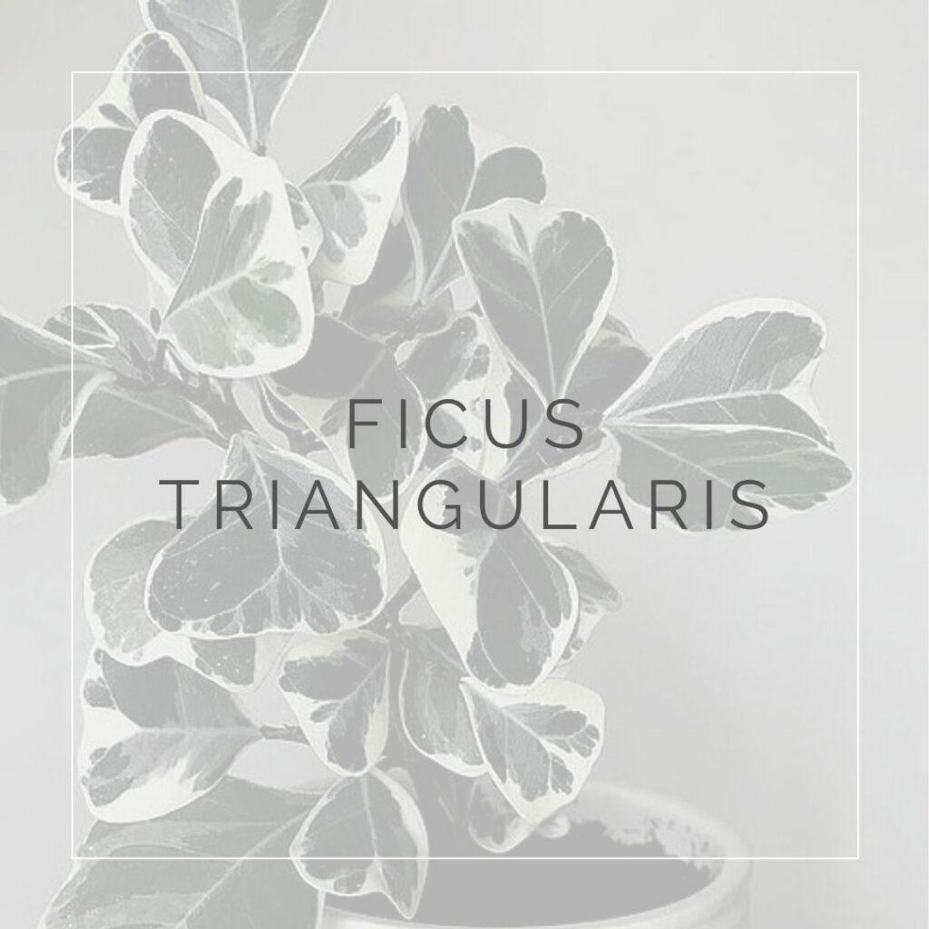 FICUS TRIANGULARIS_I Giardini di Ellis