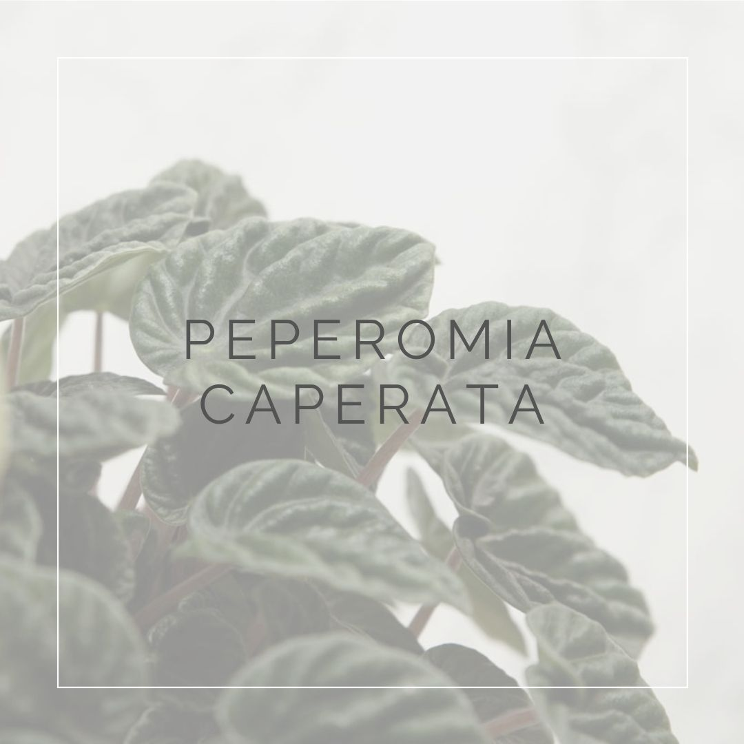 PEPEROMIA CAPERATA_I GIARDINI DI ELLIS